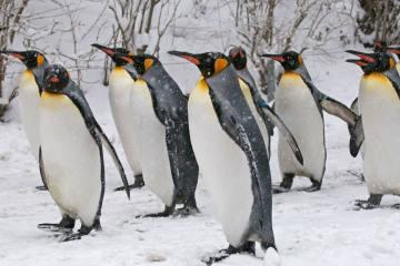 Saisonstart der Pinguinparade im Zoo Zürich