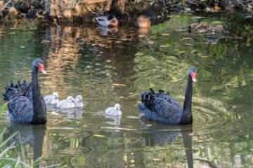 Nachwuchs bei den Schwarzschwänen im Zoo Basel