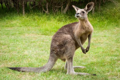 Regis-Breitingen SN - Vermisstes Känguru gefunden