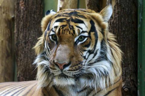 Tiger und Löwe aus Zoo ausgebrochen