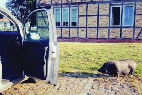Niepars MV - Hängebauchschwein sorgt für Polizeieinsatz der besonderen Art