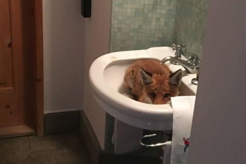Celerina GR - Fuchs im Lavabo