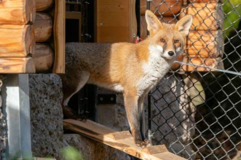 Neue Fuchs-Anlage im Tierpark Goldau eröffnet