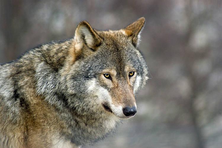 Wolfspräsenz im Kanton Graubünden - Regierung trifft sich mit Landwirten aus der Region Surselva