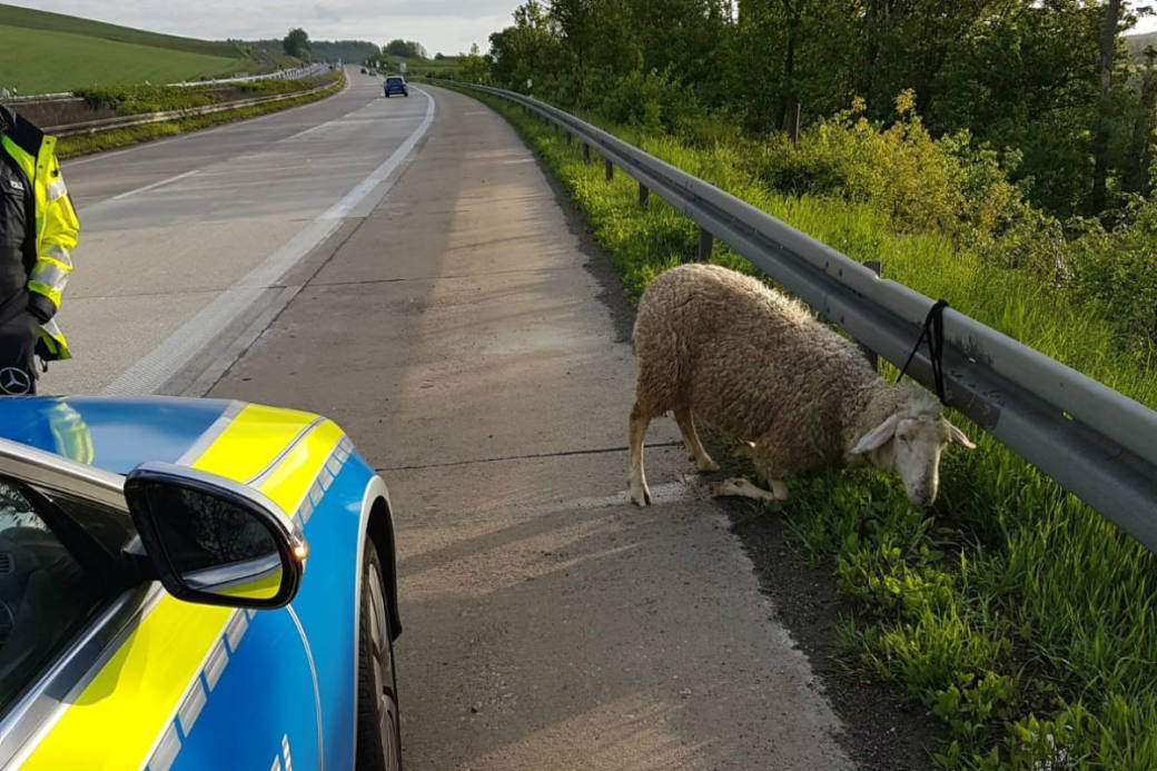 Das Schaf wurde gerettet.