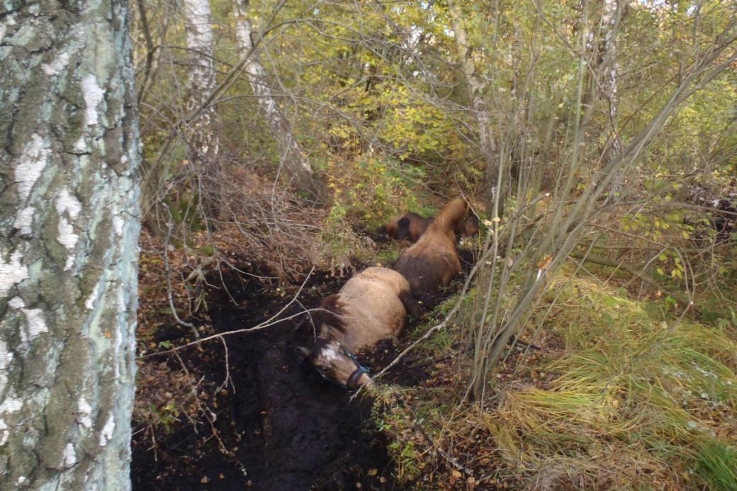 Die Tiere steckten bis zum Rumpf im Moor.
