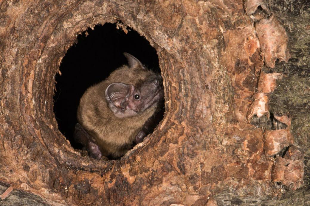 Grosser Abendsegler in Baumhöhle.