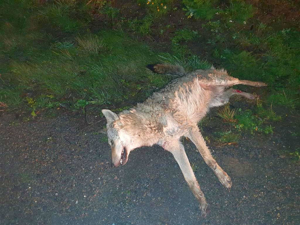 Der Wolf verendete neben der Strasse.