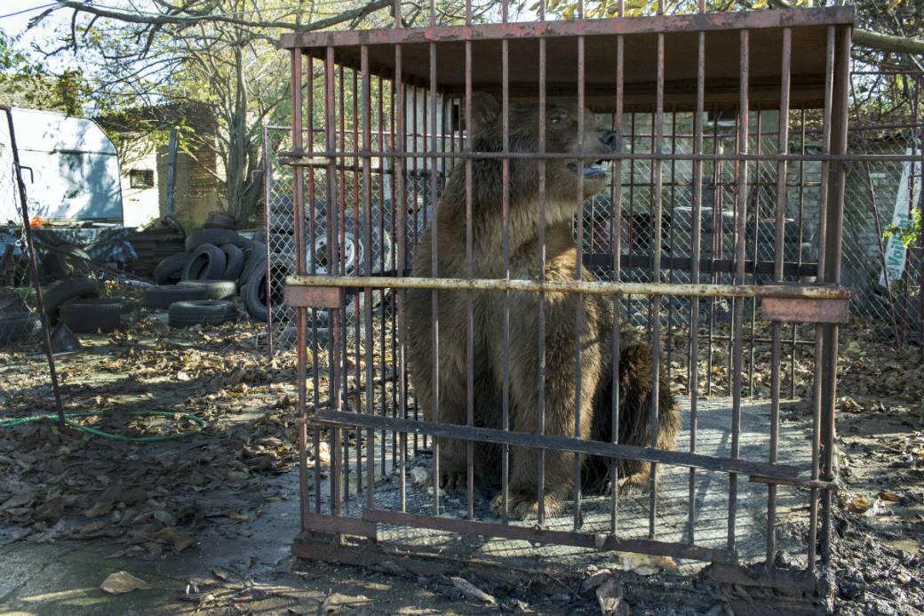 Napa im Käfig in Serbien