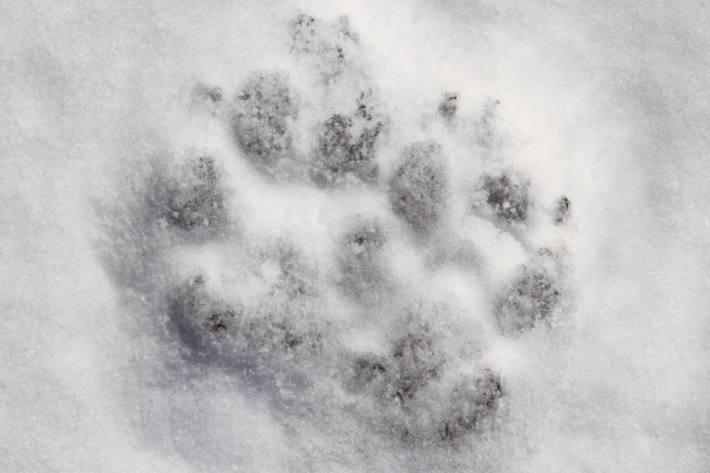 Im Kanton Glarus wird es durch die Abwanderung der Jungtiere zu Wolfsbeobachtungen im Siedlungsgebiet kommen