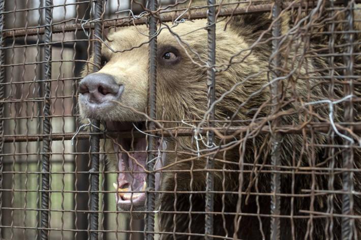 VIER PFOTEN rettet Braunbären in Nordmazedonien und bringt ihn in den TANZBÄRENPARK Belitsa in Bulgarien