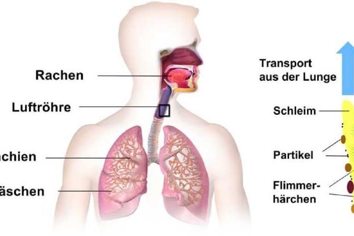 Die Schleimhäute der Atemwege funktionieren wie Förderbänder. Sie sind mit Flimmerhärchen besetzt, welche den Schleim und darin abgelagerte Viruspartikel in den Rachenraum hochschaffen.