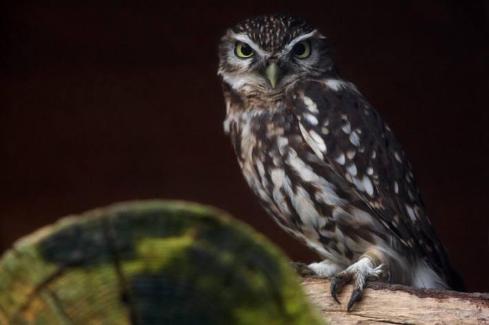 Vogel des Jahres 2021 (Foto: Natur- und Tierpark Goldau)
