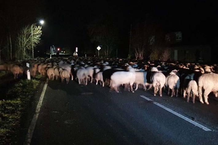 Ca. 300 Schafe blockierten die Straße in Stade