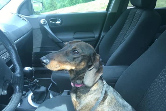 Symbolbild Hund im Auto eingesperrt