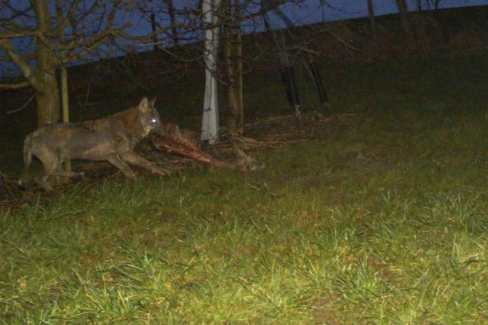 Wolf tappt in Fotofalle.