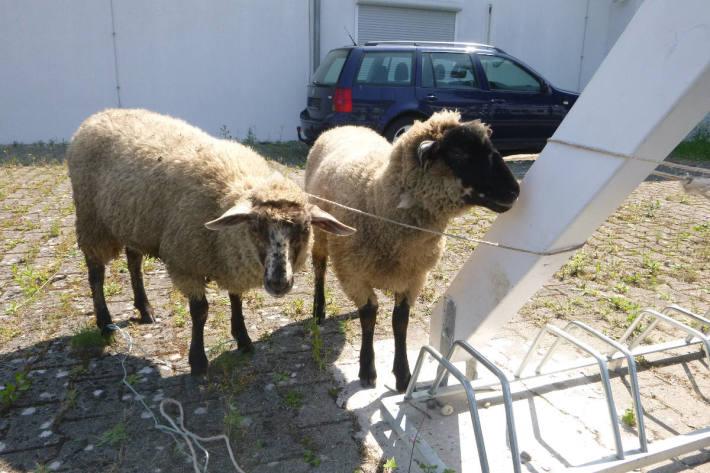 Polizei sucht Besitzer von zwei Schafen gesucht
