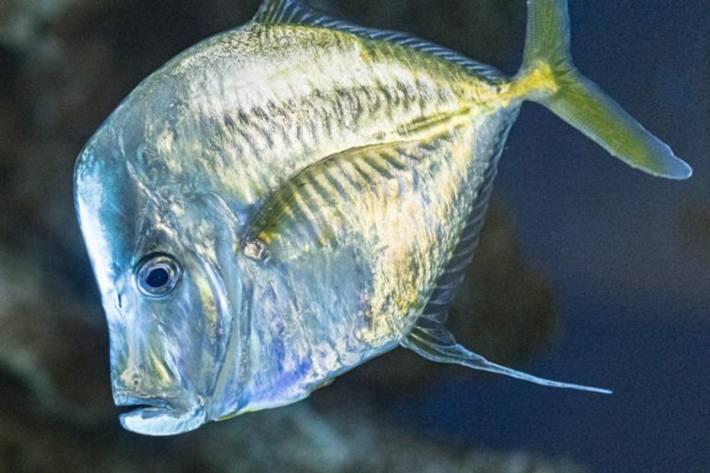 Lookdown, einer der Fische aus dem Aquarium im Zoo Basel