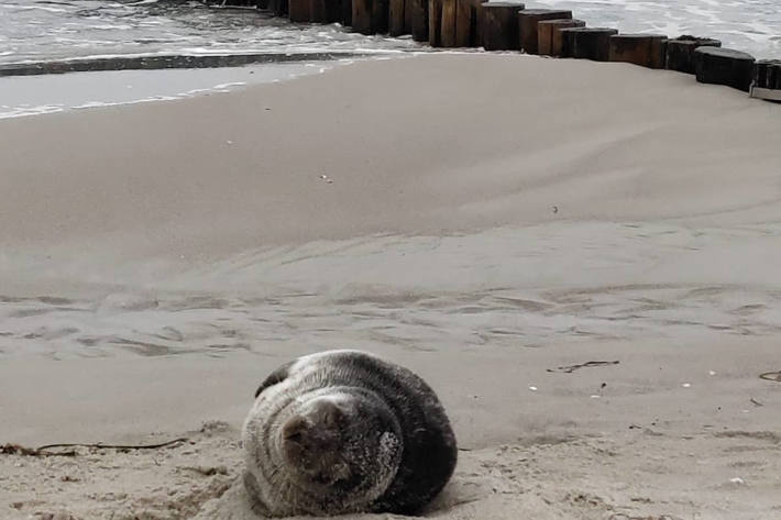 Kegelrobbe am Zingster Ostseestrand entdeckt