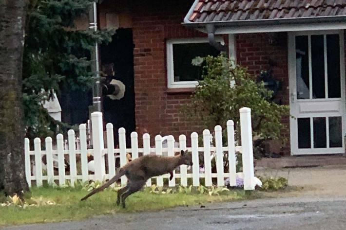 Nun fragt in Lauenbrück die Polizei, wo dieses Tier ausgebüxt sein könnte