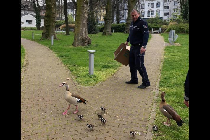 Entenfamilie in Bochum an ihrem Zielort