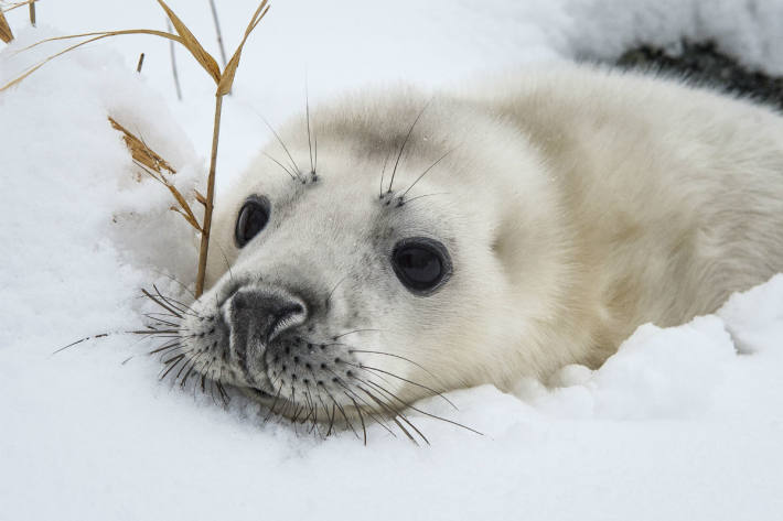 Robbenjunges auf einer schneebedeckten Ostseeinsel, Schweden