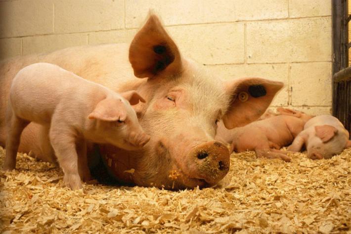 Die Gesellschaft Schweizer Tierärztinnen und Tierärzte begrüsst, dass das Wohlergehen der Tiere in der Bundesverfassung verankert werden soll (Symbolbild)