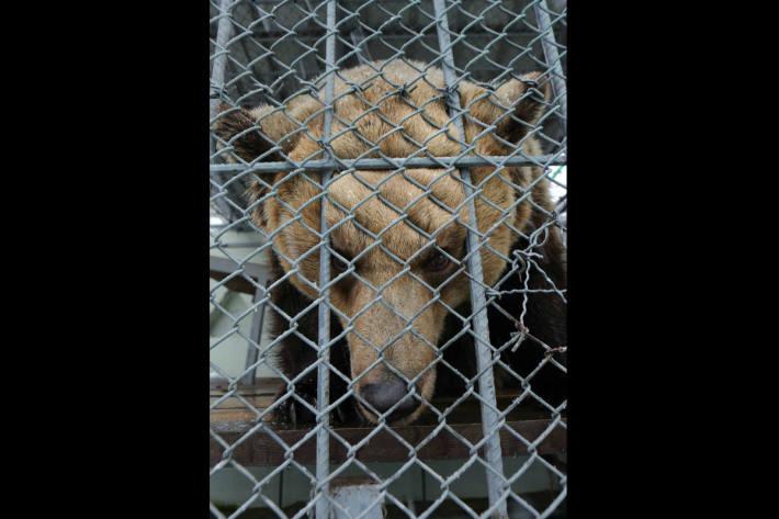 Weiblicher Shkoder Bär