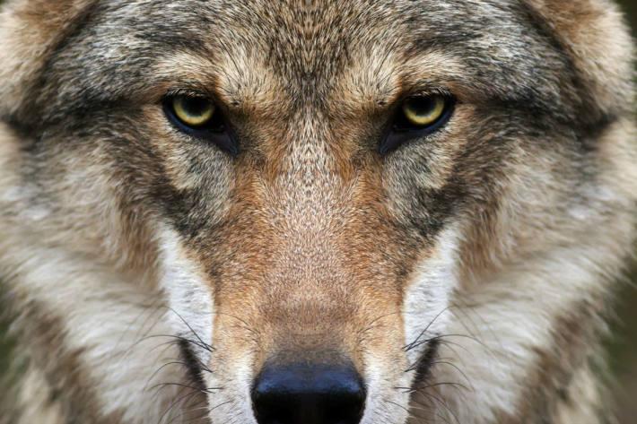 Letzte Nacht hat in Elm GL ein Wolf ein Schaf gerissen.
