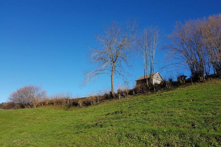 Hecke sachgerecht gepflegt: Hasel abschnittsweise auf Stock gesetzt, Einzelbäume und prächtigen Kirschbaum stehen lassen.
