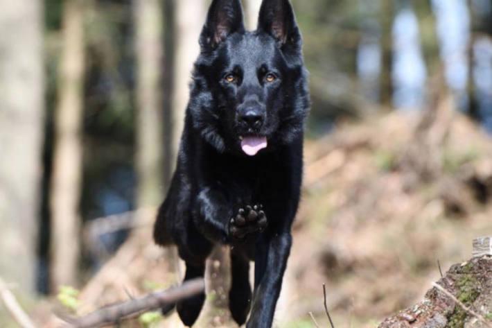 Polizeihund Wyk von der Zuger Polizei