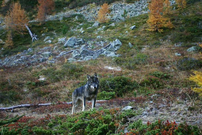 Wildlebender Wolf (ein Jungtier, ca. sechs Monate alt) in der Schweiz.