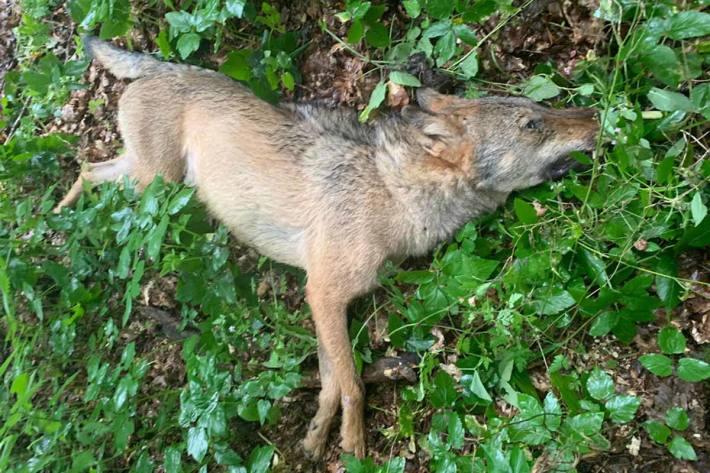 Verendeter Wolf in Stübeckshorn