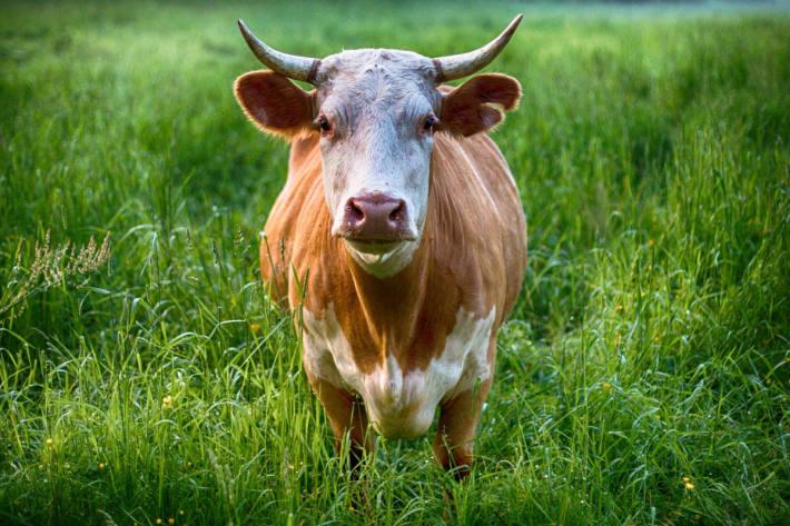 Altbauer von Stier im Bezirk Perg erdrückt (Symbolbild)