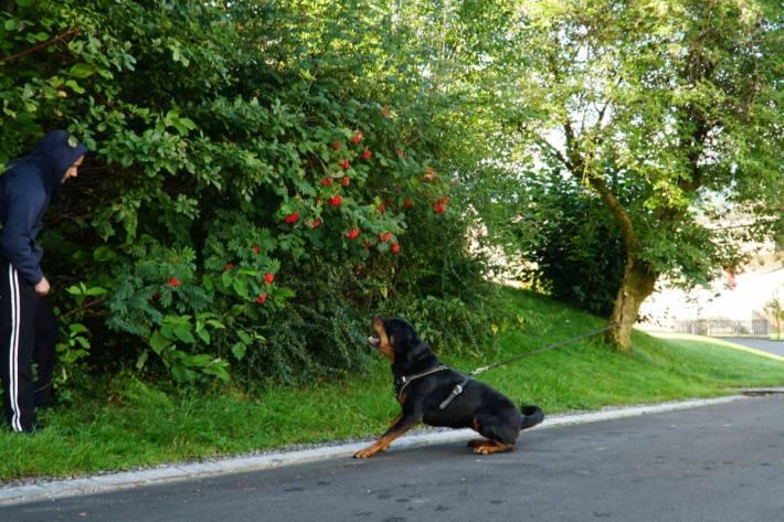 Polizeihund Yodi stellte einen Einbrecher in Rebstein SG.
