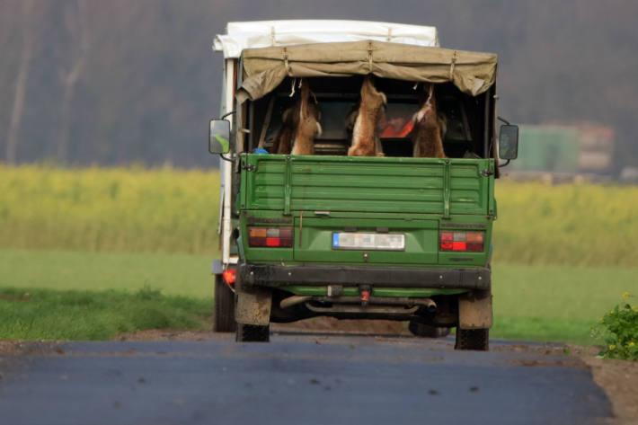 Obwohl Feldhasen zu den gefährdeten Arten zählen, töten Jäger die Tiere massenhaft.
