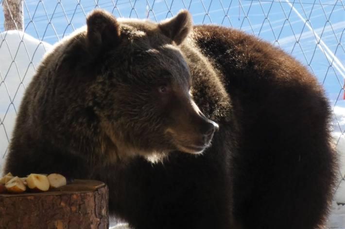Bärin Jambolina hat naturgemäss kurz vor ihrer Winterruhe kaum Appetit 7. Januar 2021 | © Stiftung Arosa Bären / VIER PFOTEN