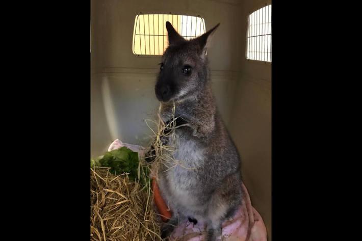 Skippy das Känguru aus Sonbeck