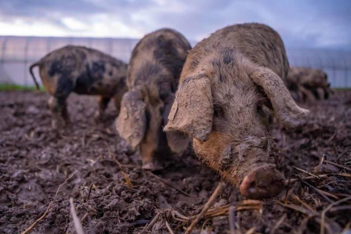 Woll- und Turopolje-Schweine dezimieren auf natürliche Art den Erdmandelbestand auf einem befallenen Feld im Gebiet Bibersee