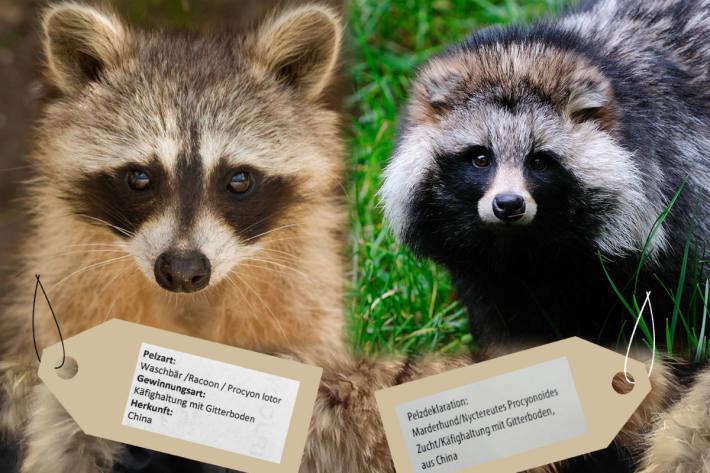 Waschbär- und Marderhund-Pelze sind sehr ähnlich - beide stammen am häufigsten aus grausamer Käfighaltung in China.