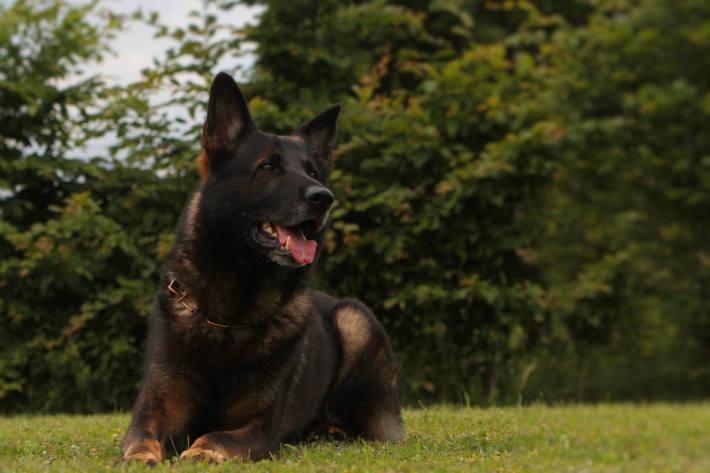 Diensthund Vimo vom Münchner Zoll