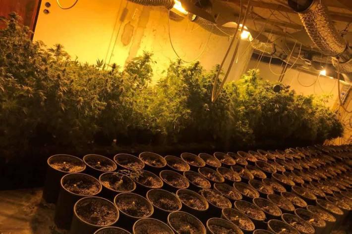 Zumindest 17 Kilogramm Cannabisblüten soll im Bezirk Vöcklabruck der Beschuldigte produziert haben