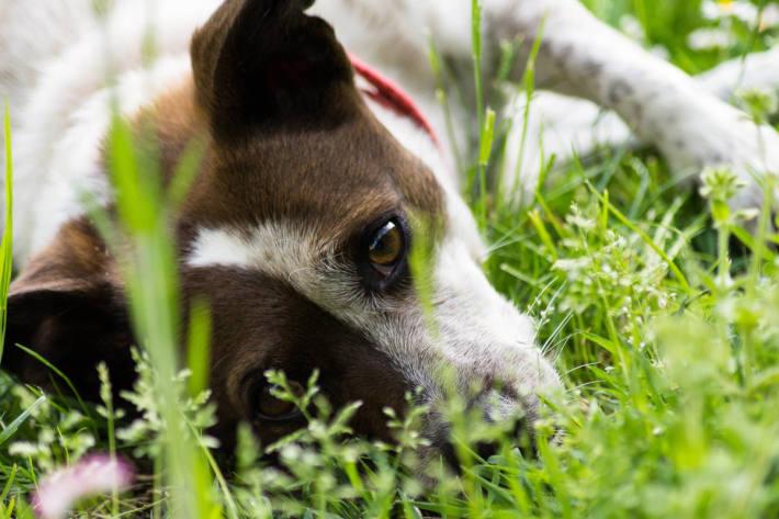 Eine Frau rief die Polizei in Marl, weil ihr Hund offensichtlich von einem Geschoss getroffen wurde (Symbolbild)
