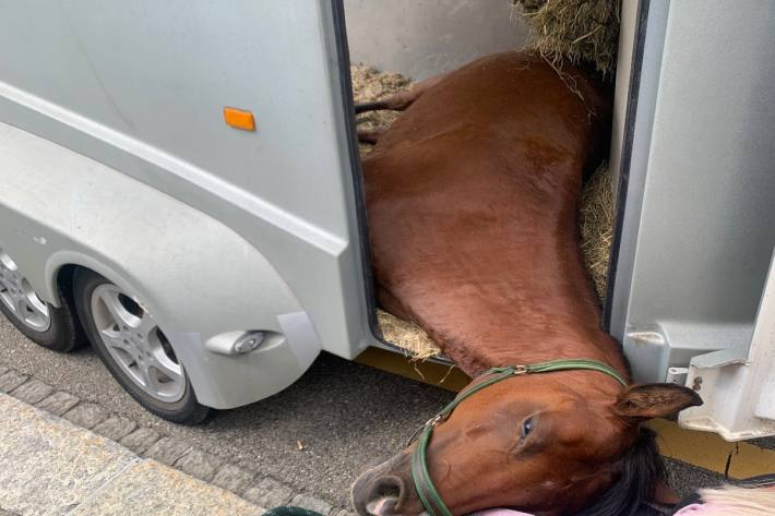 In der Stadt St. Gallen ist gestern ein Pferd in einem Anhänger gestürzt.