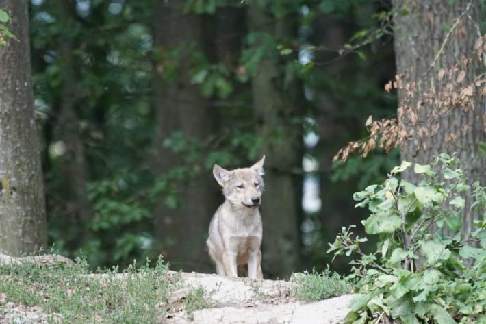 Nahe des San Bernardino Tunnels wurde ein Wolfswelpe fotografiert. (Symbolbild)