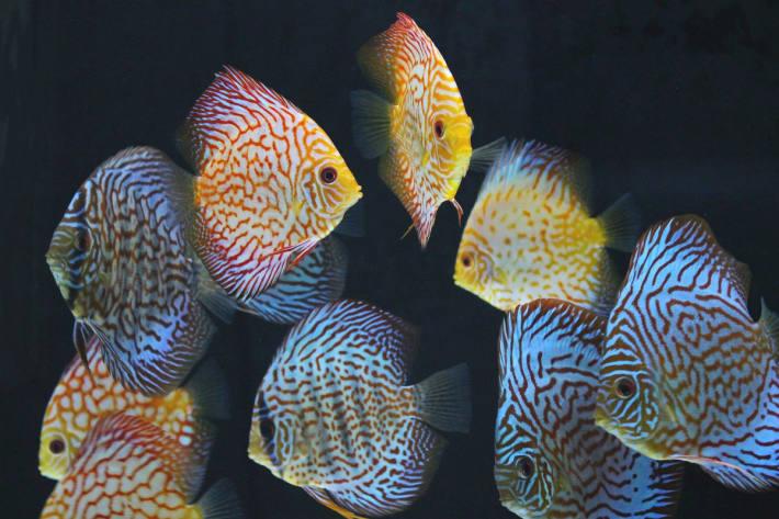 Das vielfältige Angebot und die Farbenpracht mancher Arten verführen zu Spontankäufen (Diskusfische).