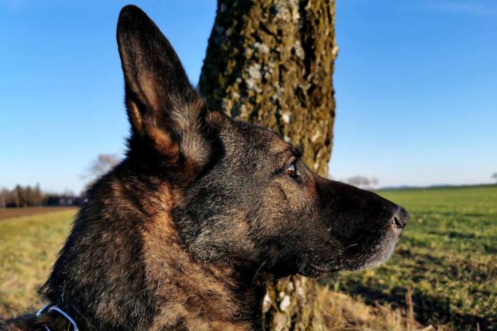 Diensthund Cube vom Münchner Zoll