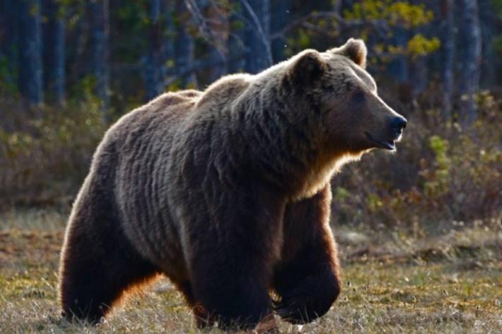 In der Umgebung von Scuol GR hat heute Nacht ein Bär mehrere Schafe gerissen. (Symbolbild)