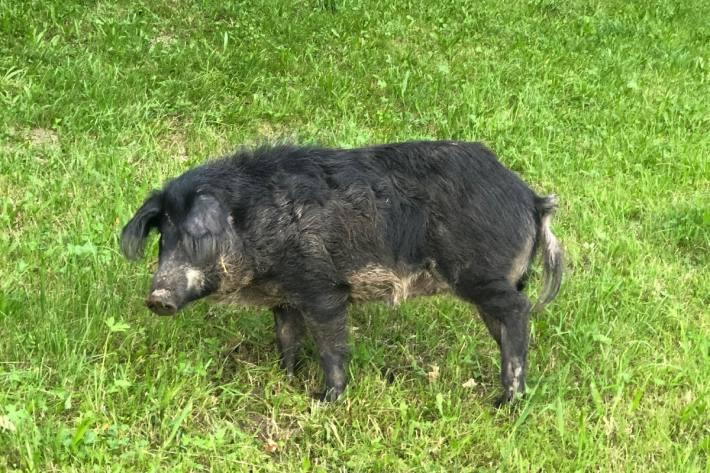 In Heiden AR ist gestern ein Schwein aus einem Anhänger gefallen.