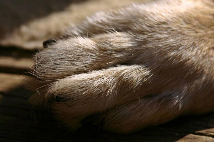 Yorkshire Terrier verendete in Premstätten durch Giftköder (Symbolbild)